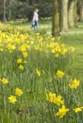 14th Apr 2018 - Walking through daffodils