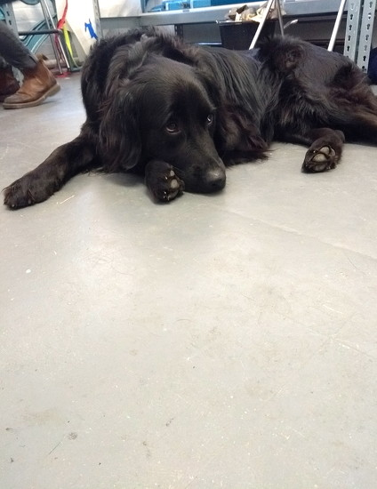 Ludo, the studio dog at Paperwild by redandwhite