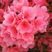 Little pink azaleas