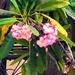 Frangipani or Temple flower