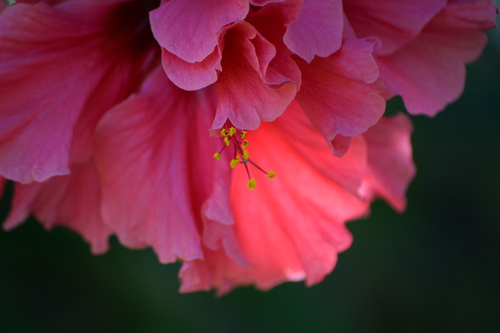 Hibiscus by jeneurell