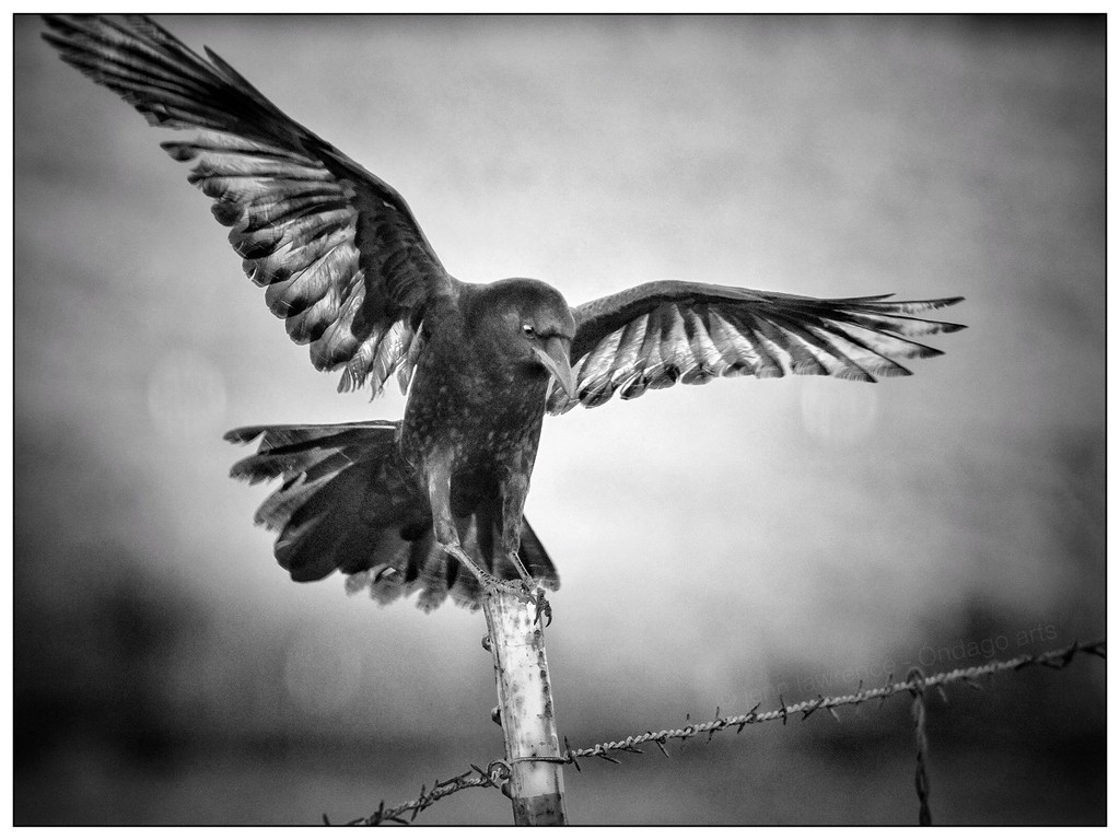 Not An Ordinary Crow, b/w by aikiuser