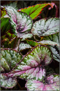12th Apr 2018 - Begonia Leaves