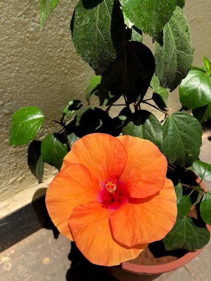 Orange Hibiscus by veengupta