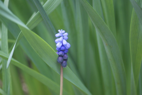Grape Hyacinth by 365projectmaxine