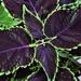 Coleus Plant ~