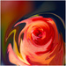 abstract rose by jernst1779