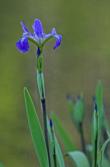 LHG_2438 Water Iris  by rontu
