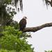 Bald Eagle at Rest!