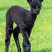 Four Day Old Cria