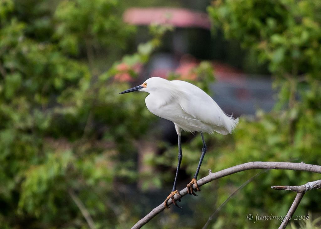 Snowy Egret near the South Carolina Coast by jnorthington