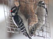 16th Apr 2018 - Woodpecker