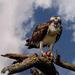 Osprey with Beak Full
