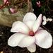 One Magnolia Blossom