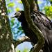 Scaredy Cat Vulture!