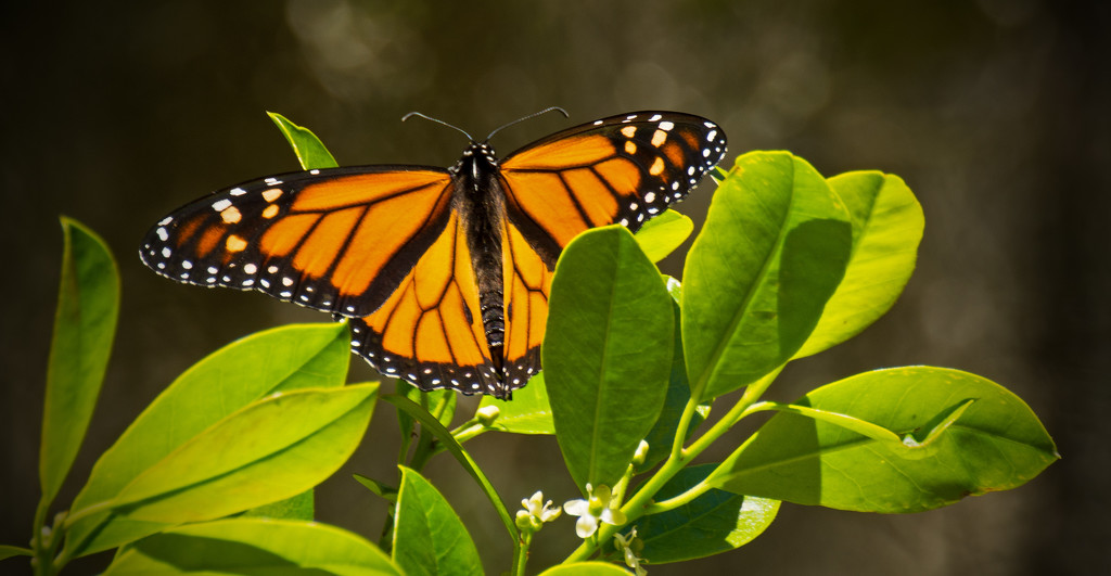 The Monarch's are Back! by rickster549