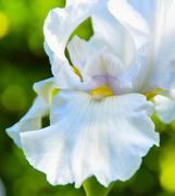 14th Apr 2018 - White Iris