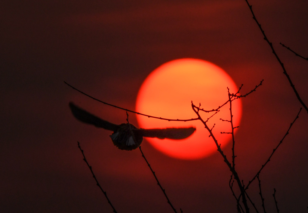 Meadowlark Flies into Kansas Sunset by kareenking