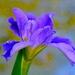 Iris, Magnolia Gardens, Charleston, SC