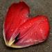 Farewell of a tulip
