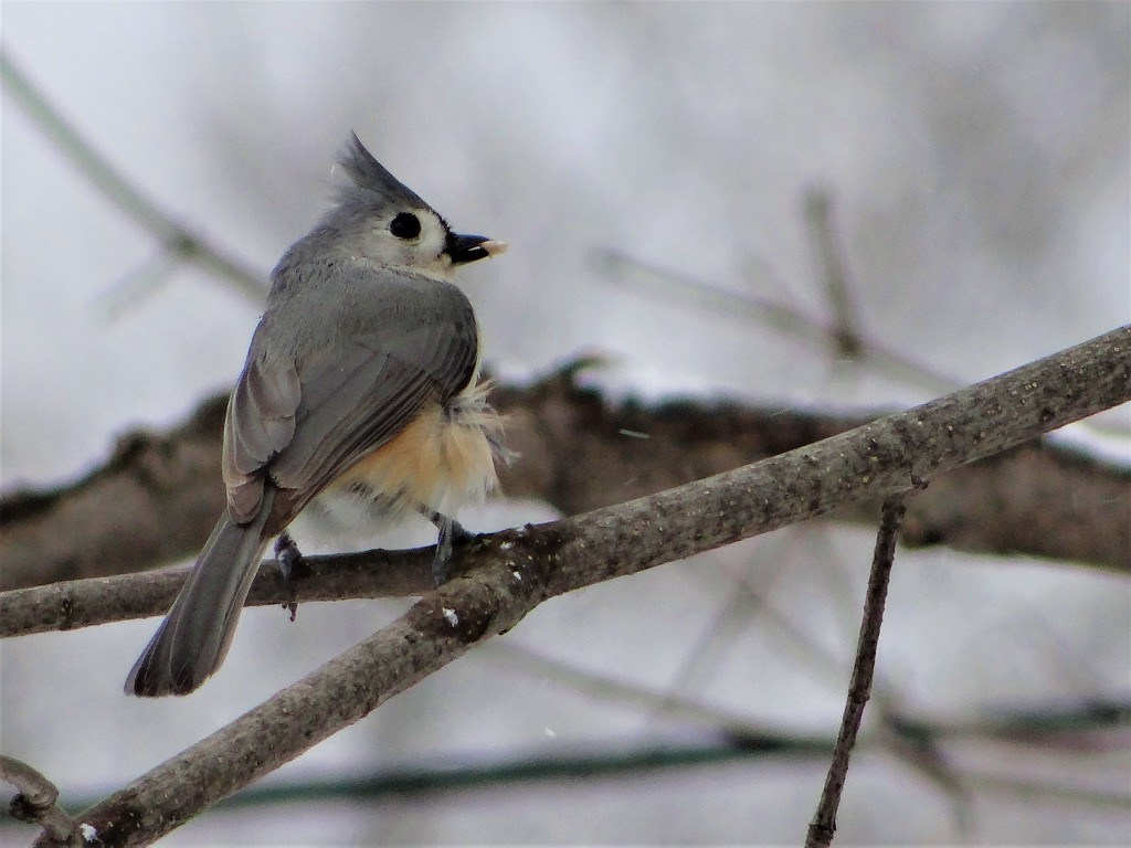 Tufted Titmouse by brillomick