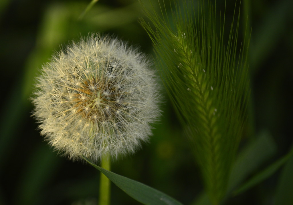 Dandelion by caterina