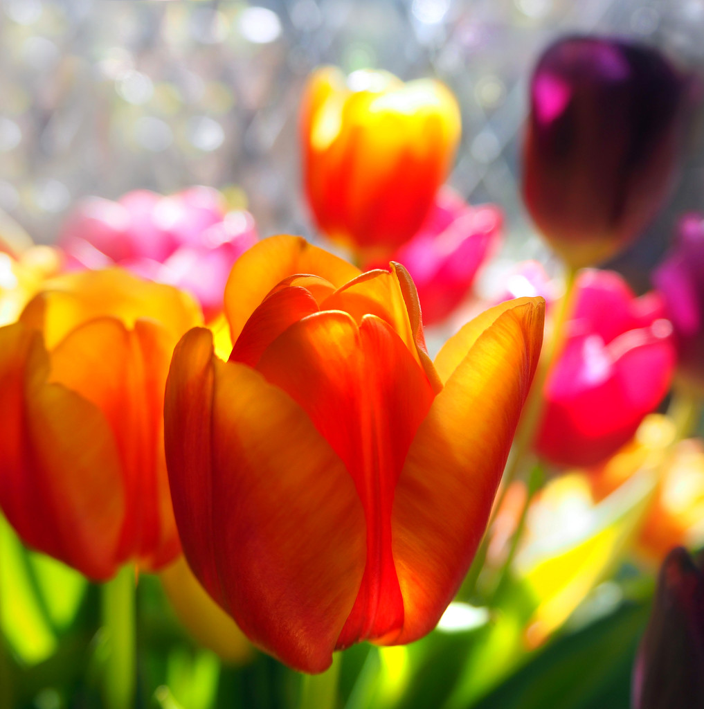 Sparkly tulips by suesmith