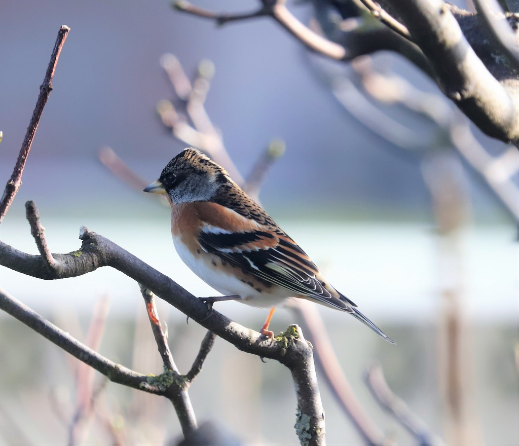 Brambling by lifeat60degrees