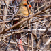 Female Northern Cardinal Centered