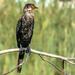 Cormorant keeping a watchful eye