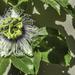 Passionfruit flower ..