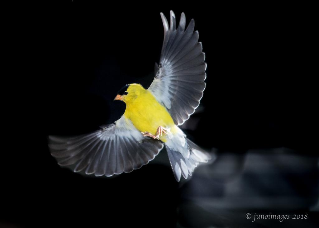 Smokin' Hot Goldfinch by jnorthington