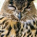 Thor The Eagle Owl.