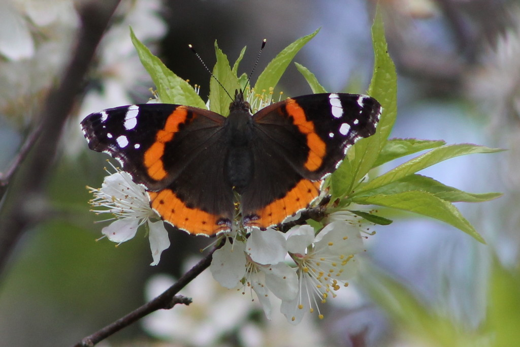 Red Admiral by cjwhite