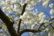 18th Apr 2018 - blue sky and blossom