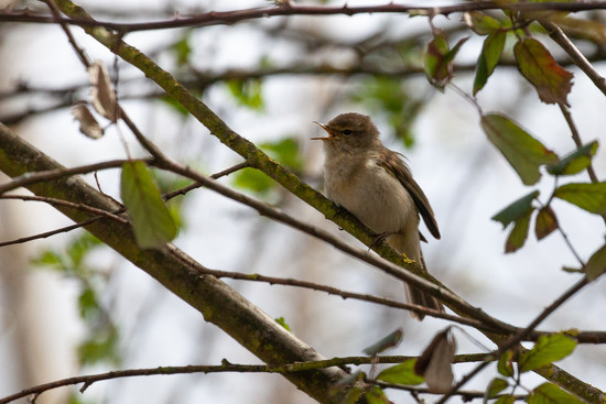 Willow Warbler by dailydelight