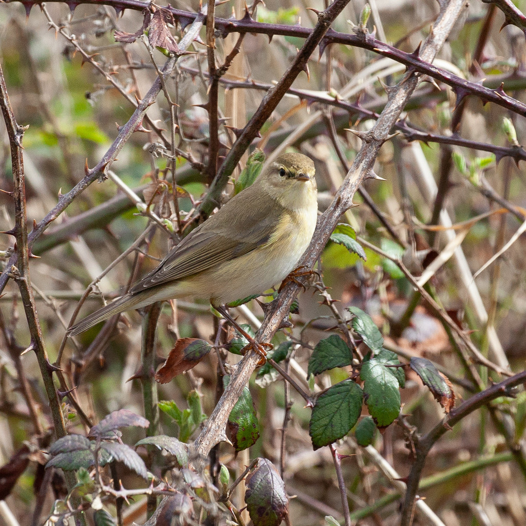 Wood Warbler by dailydelight