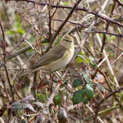 17th Apr 2018 - Wood Warbler