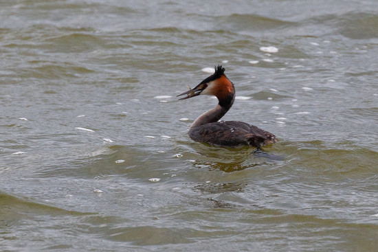 Great crested grebe eating his tea by dailydelight