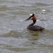 Great crested grebe eating his tea