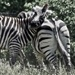 Zebra Fun. Do these stripes make my butt look big?