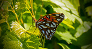 18th Apr 2018 - Gulf Fritillary Butterfly!