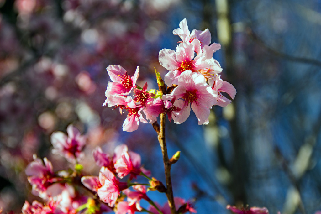 Cherry Blossoms by jaybutterfield