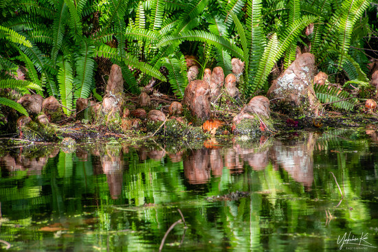 Swamp Cyprus Reflections by yorkshirekiwi