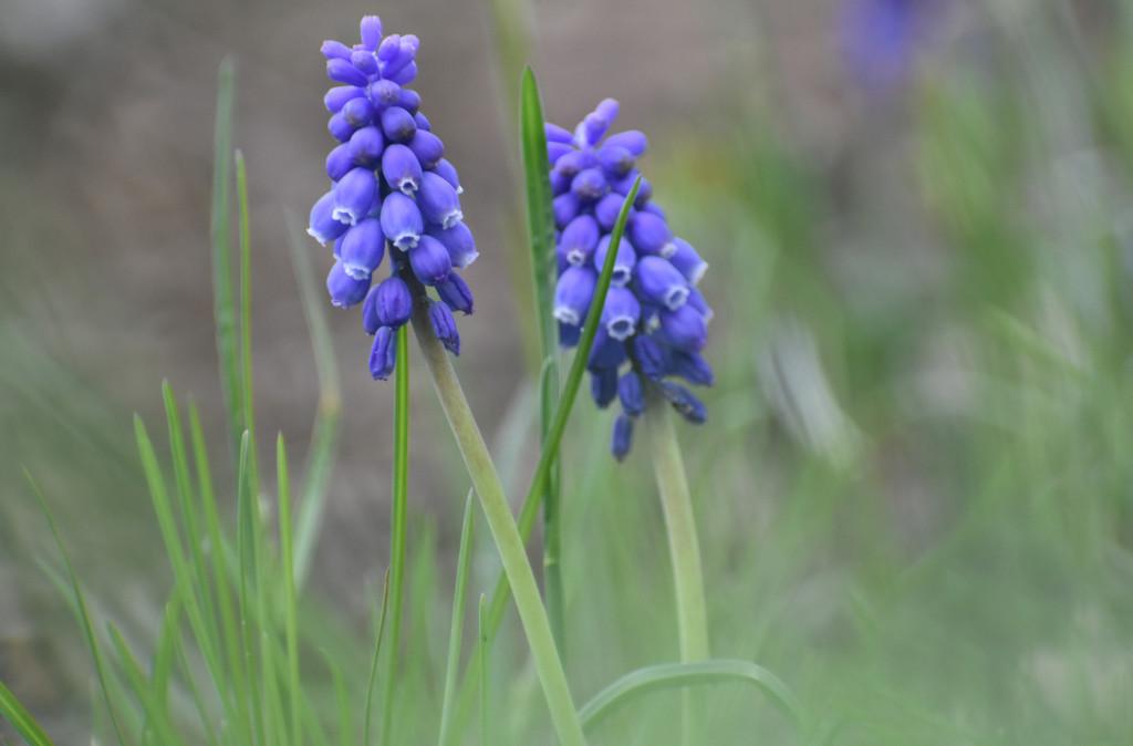 Grape Hyacinth by alophoto