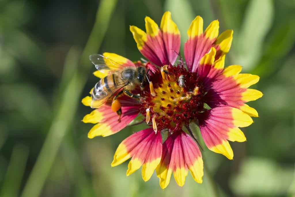 Bee on Firewheel by gaylewood