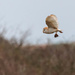 Barn Owl with breakfast by padlock