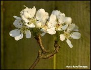 19th Apr 2018 - Pear blossom