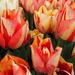 Tulips April 2018