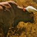 Ankole Bull